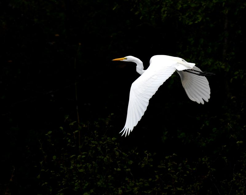 Great Egret (rare)